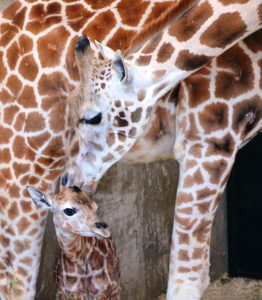 Rare Rothschild giraffe at LEO Conservation Center founded by Marcella Leone