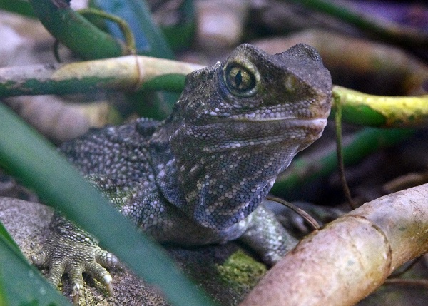 """Lizard head from """"Third Eye of the Tuatara"""" chapter in """"An Elephant Ate My Arm"""" travel book/Photo: Flickr by Paparazzi/Wikimedia Commons"""